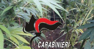Carabinieri trovano 180 piante di cannabis indica